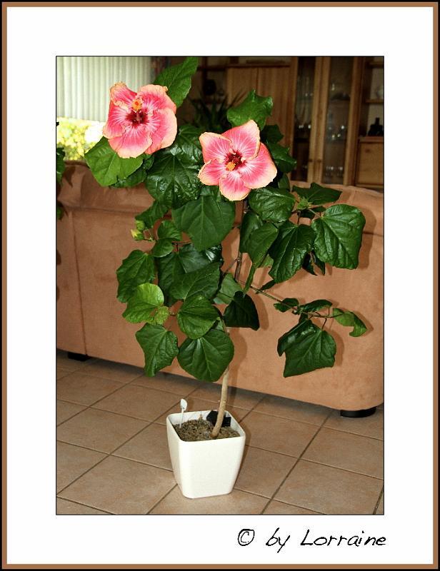 Hibiscus - alle Arten, Zuchtformen ... Erfahrungsberichte, Aussaat und selbstverständlich Bilder :) - Seite 4 IMG_4017-24102013