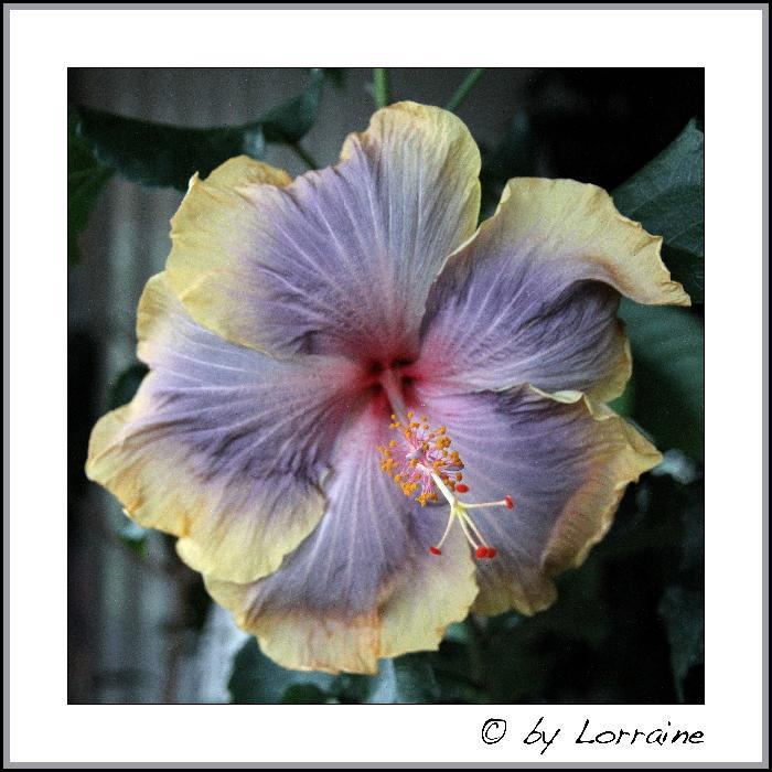 hibiskus vermehren hibiskus vermehren hibiskus hibiscus. Black Bedroom Furniture Sets. Home Design Ideas