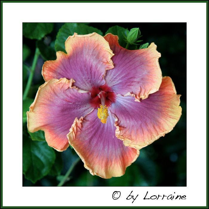 Hibiscus - alle Arten, Zuchtformen ... Erfahrungsberichte, Aussaat und selbstverständlich Bilder :) - Seite 4 IMG_3591-01102013