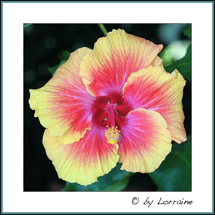 Hibiscus - alle Arten, Zuchtformen ... Erfahrungsberichte, Aussaat und selbstverständlich Bilder :) - Seite 3 IMG_6348-02062013
