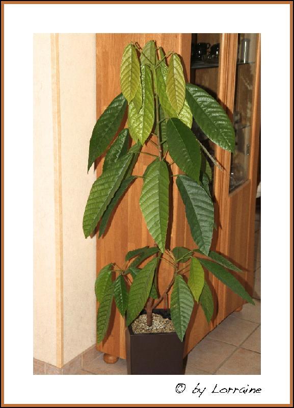Kakaobaum (Theobroma cacao)  IMG_2016-27022013