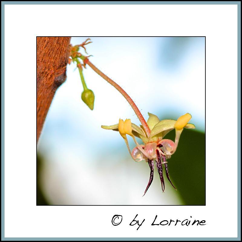 Kakaobaum (Theobroma cacao)  - Seite 2 IMG_6785-23072014