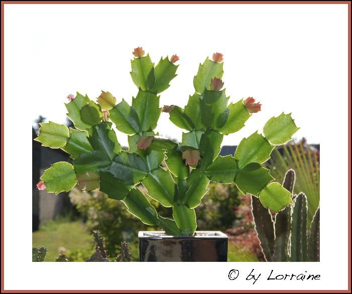 weihnachtskaktus schlumbergera i beliebte pflanzen erfahrungen green24 hilfe pflege bilder. Black Bedroom Furniture Sets. Home Design Ideas