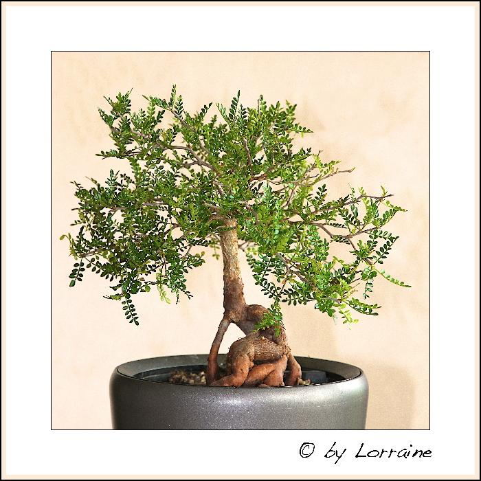 re bonsai s 3. Black Bedroom Furniture Sets. Home Design Ideas