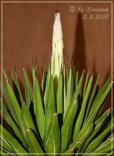bl te von agave victoriae reginae pflanzen botanik green24 hilfe pflege bilder. Black Bedroom Furniture Sets. Home Design Ideas