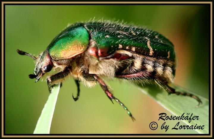 grüner glänzender käfer
