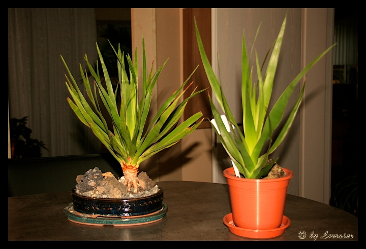 samen vom kanarischen drachenbaum dracaena draco samen anzucht vermehrung green24 hilfe. Black Bedroom Furniture Sets. Home Design Ideas