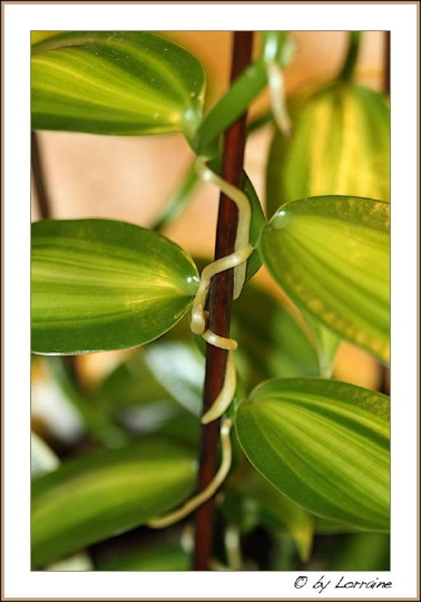 vanille vanilla planifolia syn vanilla fragrans beliebte pflanzen erfahrungen green24. Black Bedroom Furniture Sets. Home Design Ideas