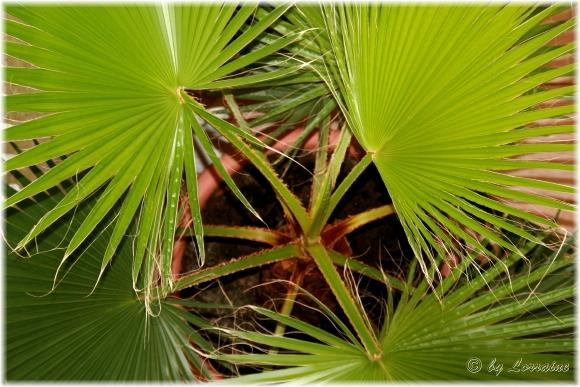 palmen name gesucht washingtonia pflanzenbestimmung. Black Bedroom Furniture Sets. Home Design Ideas