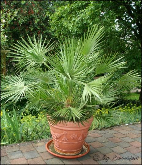 tropenland forum ausgepflanzte palmen. Black Bedroom Furniture Sets. Home Design Ideas
