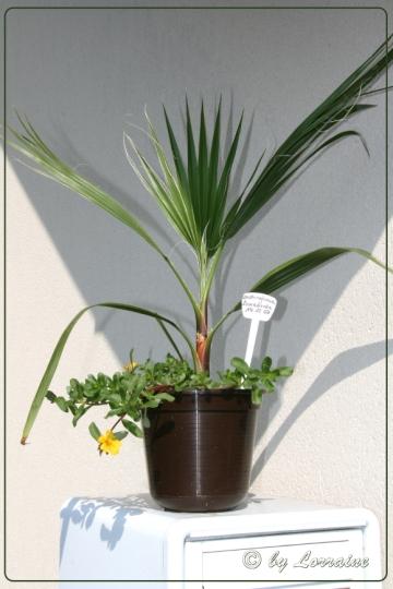washingtonia robusta welchen d nger verwenden pflanzen botanik green24 hilfe pflege bilder. Black Bedroom Furniture Sets. Home Design Ideas